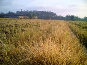 Rumput lalang atau gulma mati hingga akar setelah herbisida dicampur solut-ion