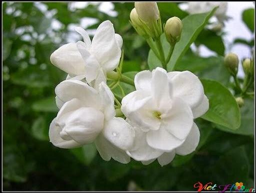 Hoa nhài giúp Giúp thư giãn, Tạo hưng phấn, Giúp da săn chắc