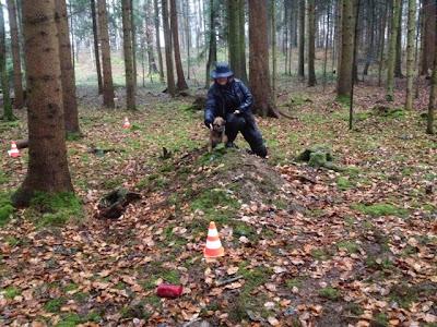 Border Terrier Charly beim Dummytraining im Wald