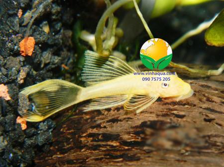 Cá longfin vàng mắt đen trong hồ thủy sinh