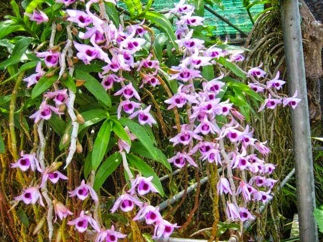 Phi điệp tím là loại hoa lan có nhiều biến thiên về kiểu hoa và màu sắc, phổ biến nhất là cánh trắng phớt tím nhẹ, cánh tím đậm ít hơn