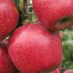 Jonagold Supra яблоня
