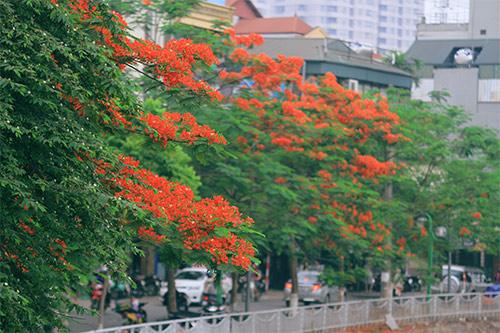 hoa phương bên dòng sông