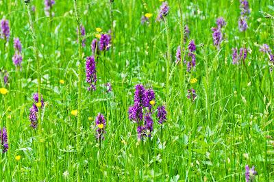 Orchideenwiese mit Knabenkräutern