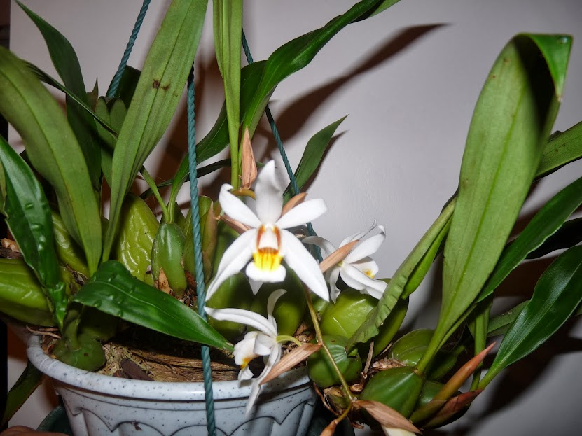 Coelogyne mooreana x cristata P1360885