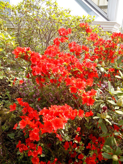 Rhododendrons et Azalées IMG_20140426_144917