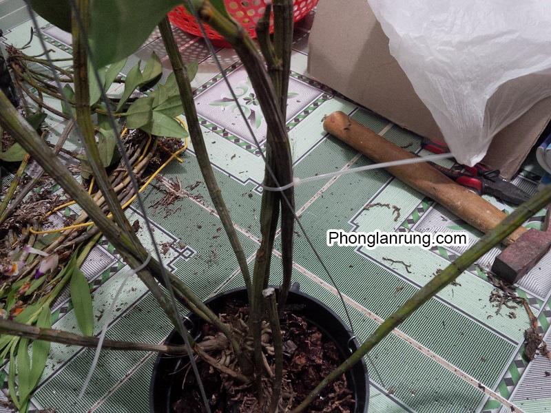 Cách trồng hoa lan vào chậu