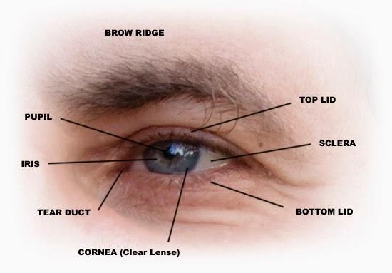 brow ridge, pupil, iris, tear duct, cornea, top lid, sclera, bottom lid