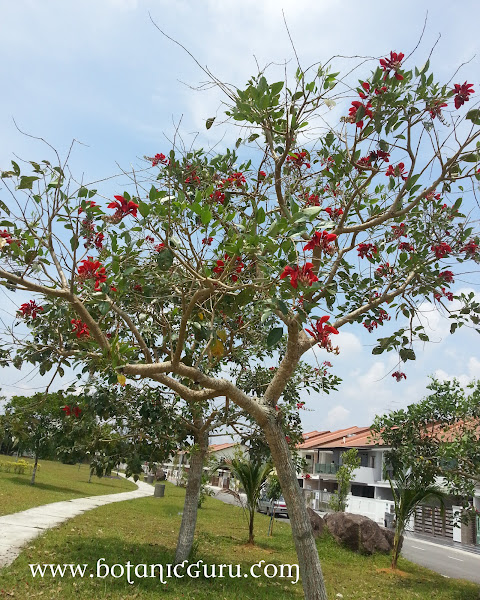Erythrina fusca, Chekring, Coral Bean, Purple Coral-tree