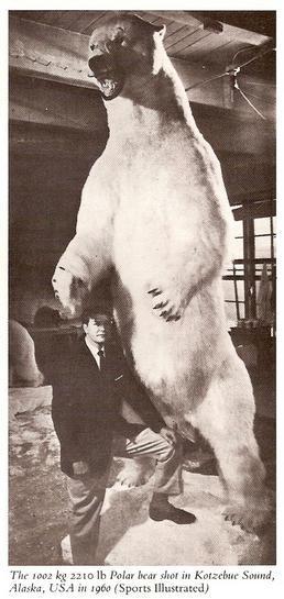 Urso pardo vs Urso polar - Página 2 1_tonne_polar_bear