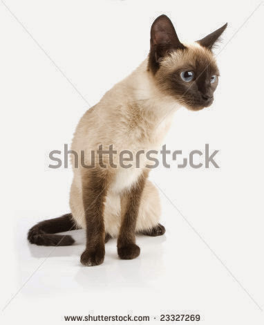 stock-photo-siamese-cat-23327269.jpg