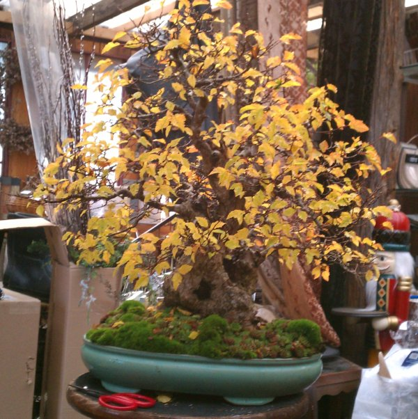korean hornbeam getting a lot of wiring embedded images rh ibonsaiclub forumotion com Best Bonsai in the World Bonsai Tree
