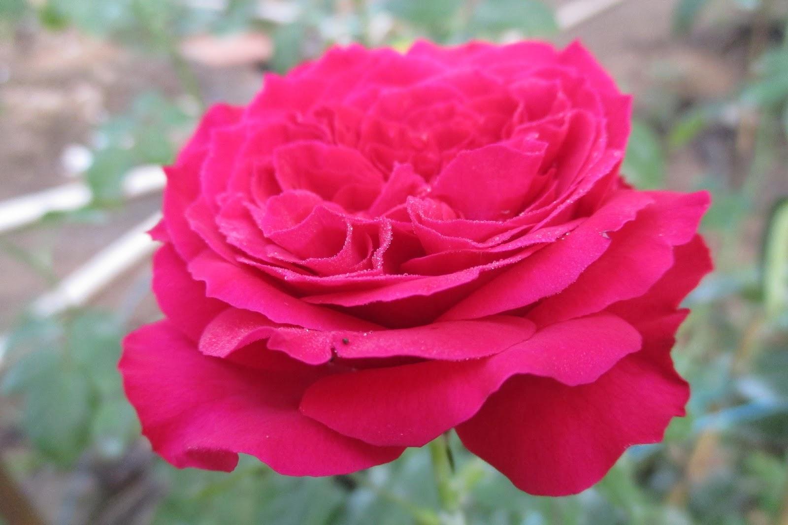 Hoa hồng leo Mộng Vy (Red Eden rose)