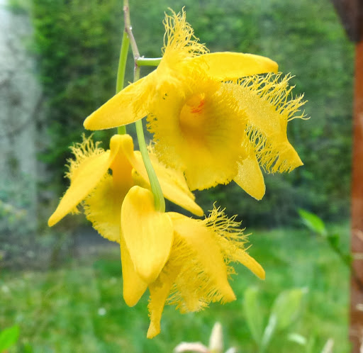 Dendrobium harveyanum P1370571