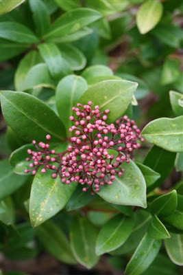 Male skimmia flowers