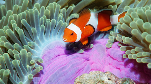 False Clown Anemonefish, Similan Islands, Andaman Sea, Thailand.jpg