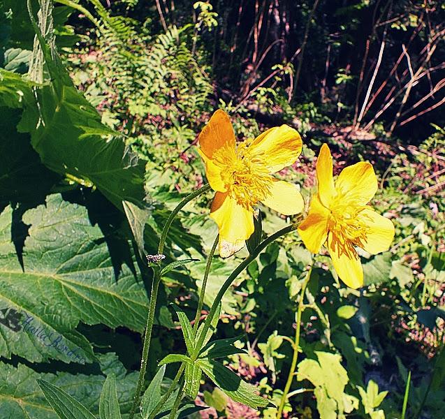 floare jepii mari bucegi