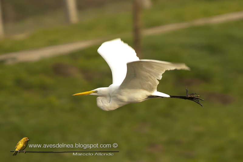 Garza blanca (Great egret)