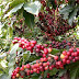 Colombian Coffee Group Sees 'Very Good' Crop in Main Areas