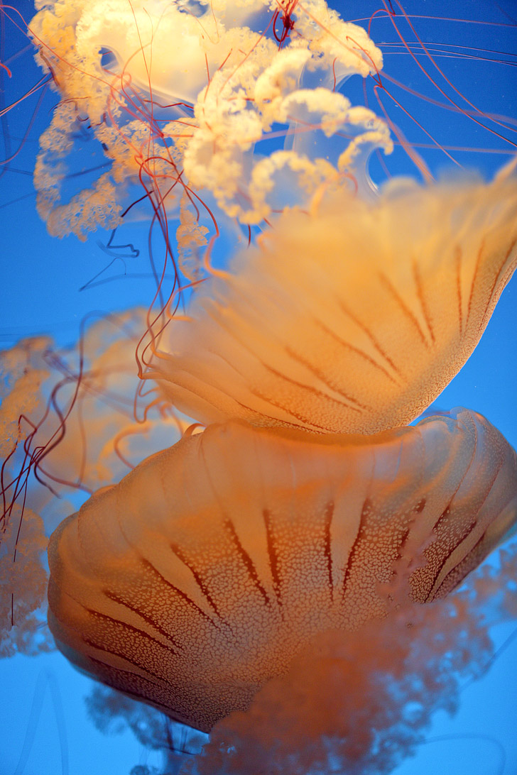 Sea Nettle Jellyfish at the Monterey Bay Aquarium CA.