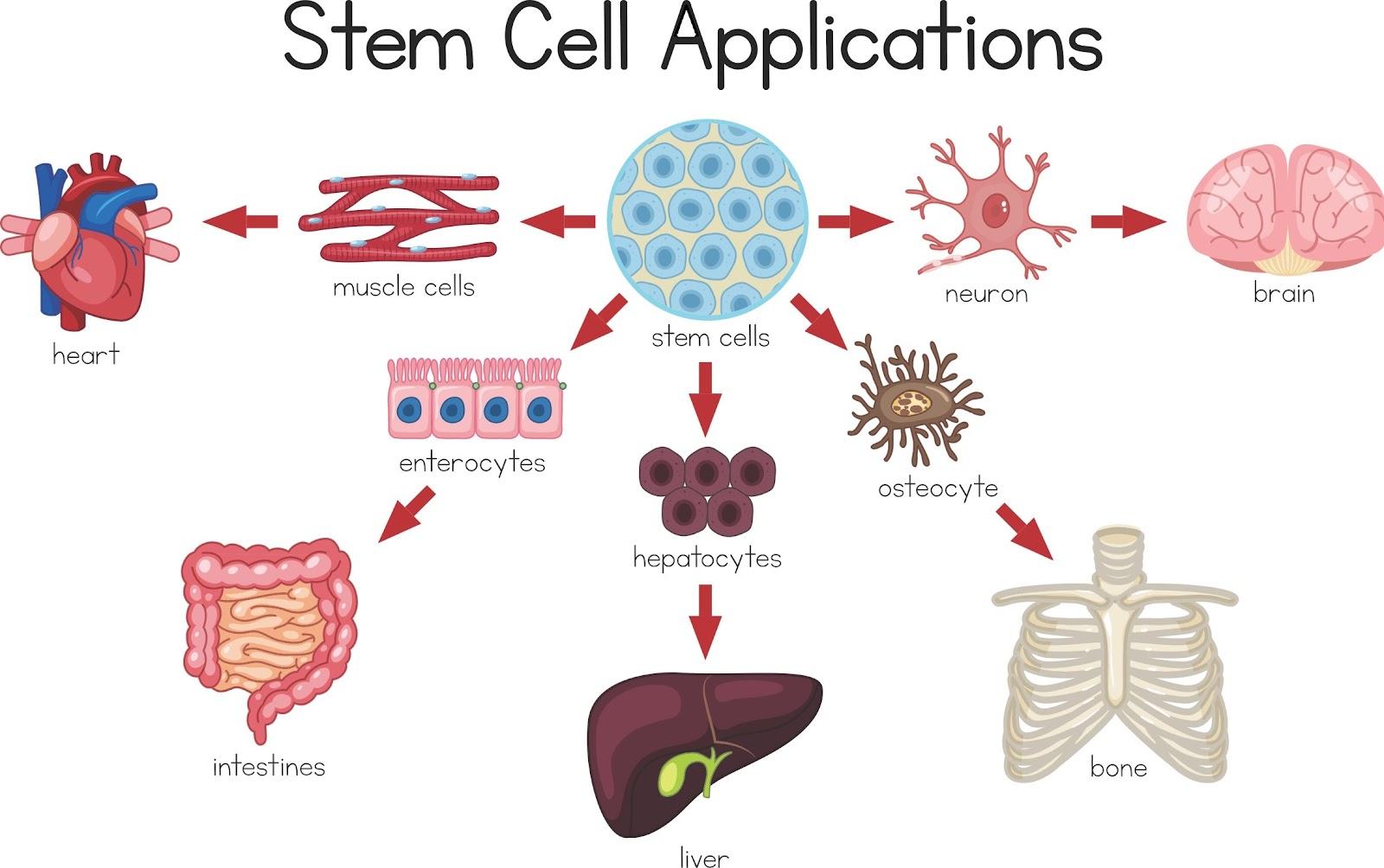 """Image 2: <img scr=""""Image 2.jpg"""" alt=""""Application of stem cells"""">"""