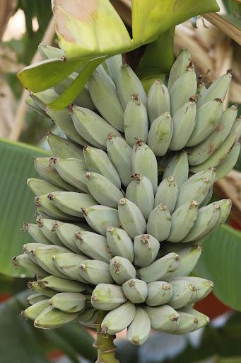 La culture et l'entretien d'un bananier - Page 4 _MG_0616