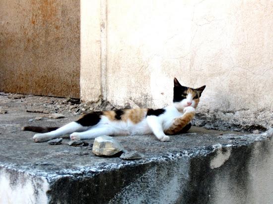 grecki kociak