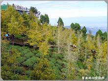 南投鹿谷-銀杏森林