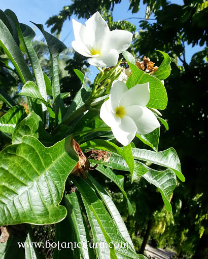 Plumeria pudica, Bridal Bouquet, Fiddle Leaf Plumeria flowers and leaves