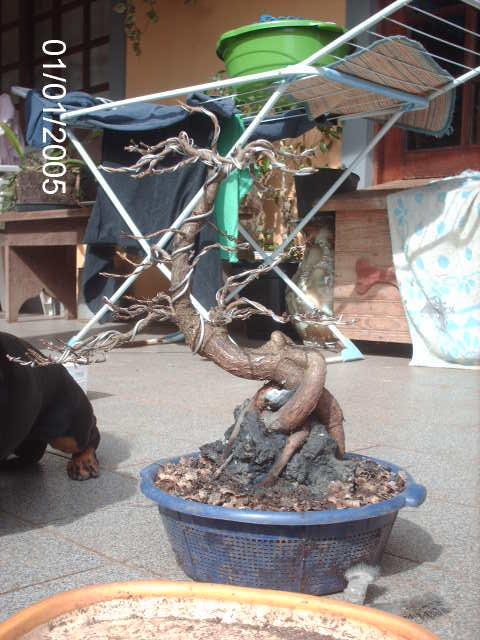 Ficus Nerifolia, Uma raiz de 3 anos... PICT1061