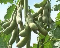 Hạt giống đậu tương