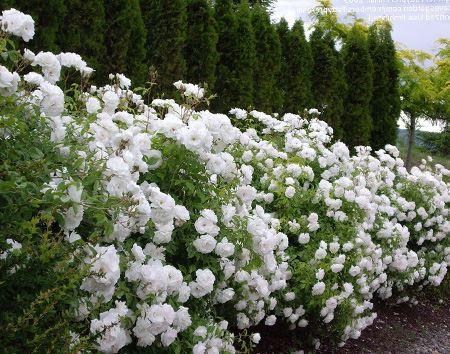 """1 """"hàng rào"""" bằng hoa hồng trắng"""