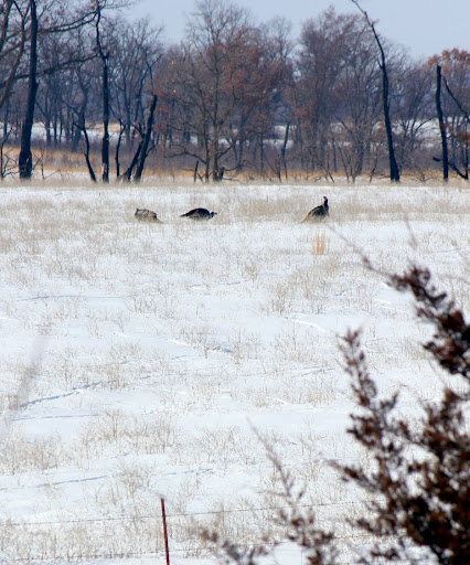 turkeys-2013-02-24-11-15.jpg