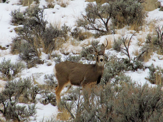 Deer in Slaughter Canyon