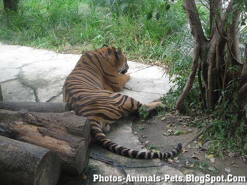 https://lh4.googleusercontent.com/-YgBB4Y-sh8I/TXxmICvXIYI/AAAAAAAAAGg/SPkR21HYFBA/s1600/Animal+pictures+_Asian+tigers-1.jpg