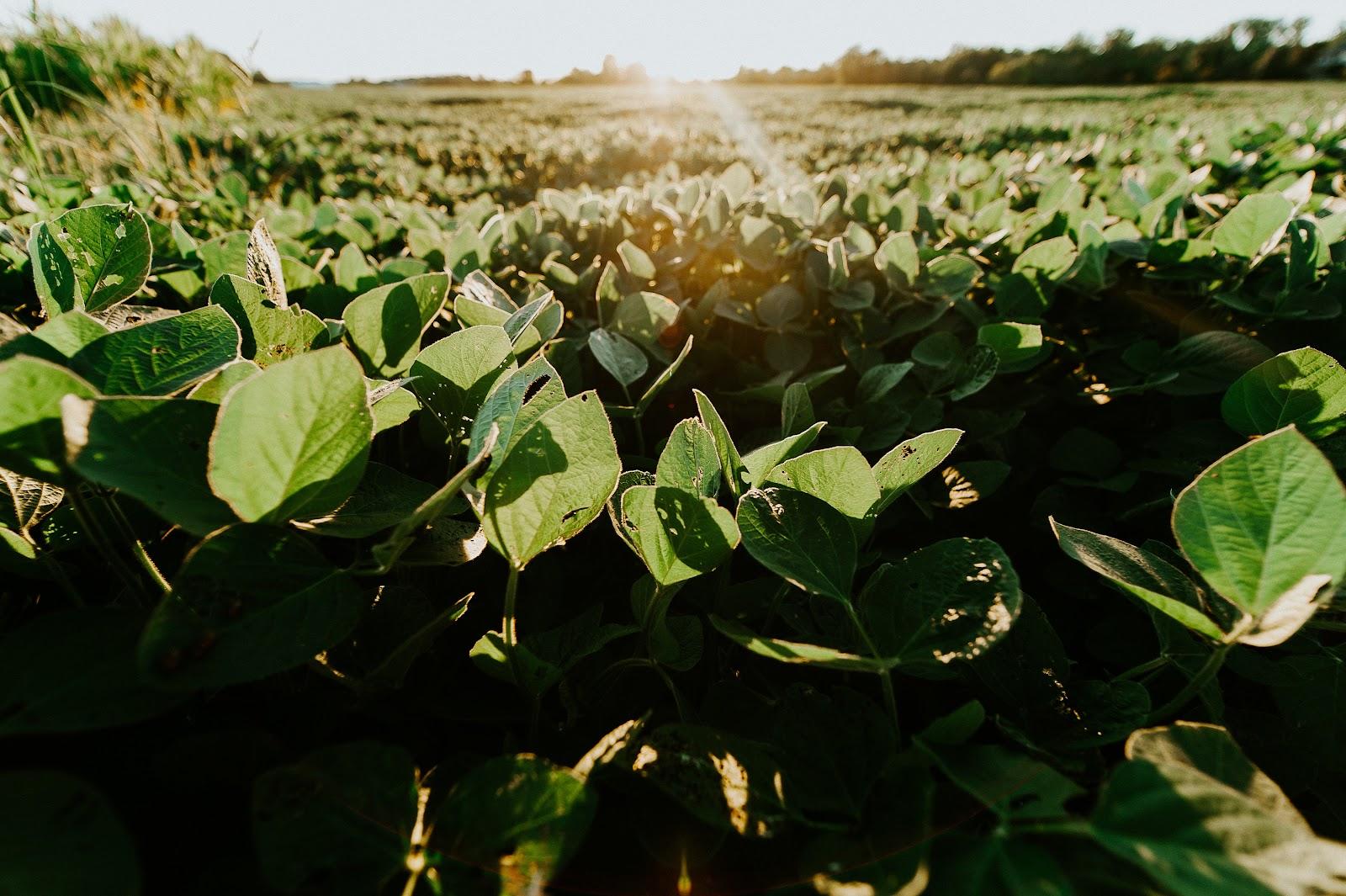 A soja é uma das culturas que mais ganham com a polinização