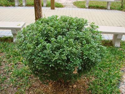 Kết quả hình ảnh cho cây ngâu tròn