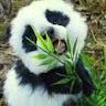 panda_leaves