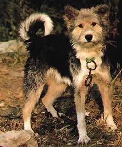 Aryan Molossus Dog Breeds