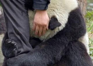 Japón: La foto del oso panda asustado no es real