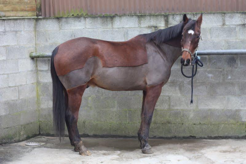 Grammage couverture pour cheval tondu IMG_1190