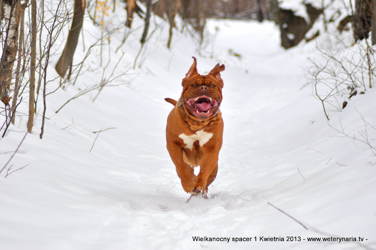 dogue de bordeaux i zima