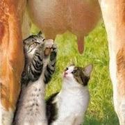 К чему снится доить корову?