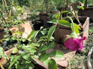 Nắng quá oi bức, nhiệt độ quá cao có thể làm cháy cánh hoa 1 số loại hồng trước khi nở