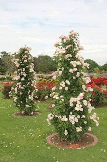 Còn đây là các trụ được dựng lên trong sân vườn để hoa hồng bám vào.  pillar rose