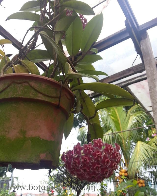 Hoya pubicalyx, Harlequin Wax Plant, Wax Plant flower