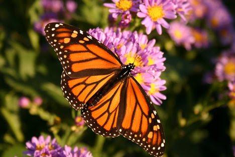 Monarch Danaides