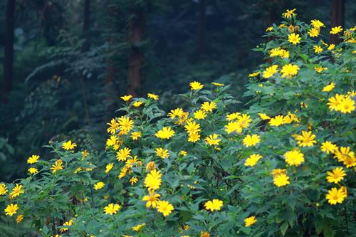 hoa hướng dương dại