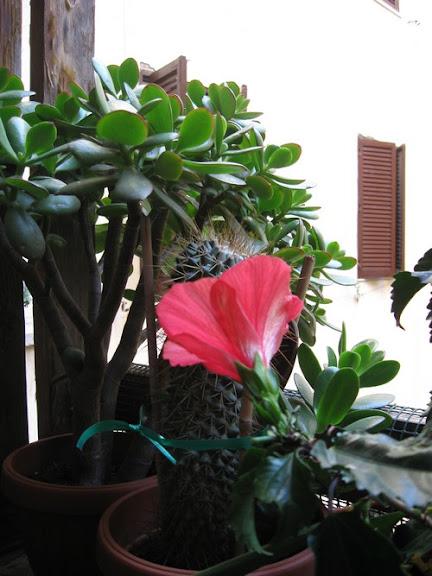 foto mia: Ibisco, sbocciato in questi giorni sul balconcino mio dans fiori e piante fiori%2520sul%2520balconcino%25202