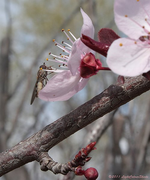 Purple-leaf plum flower